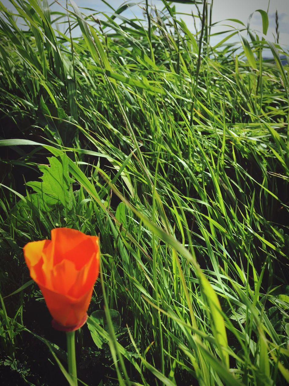 California Poppies California Poppy Orange Orange Color Green Color Green Green Green!  Green Green Grass Green Grass 🌱 Flower Growth Nature Plant Green Color Beauty In Nature Petal Flower Head Close-up Grass Blooming Wildflower Wildflowers In Bloom Wildflowers Wildflower Photography Wildflowers Of Eyeem