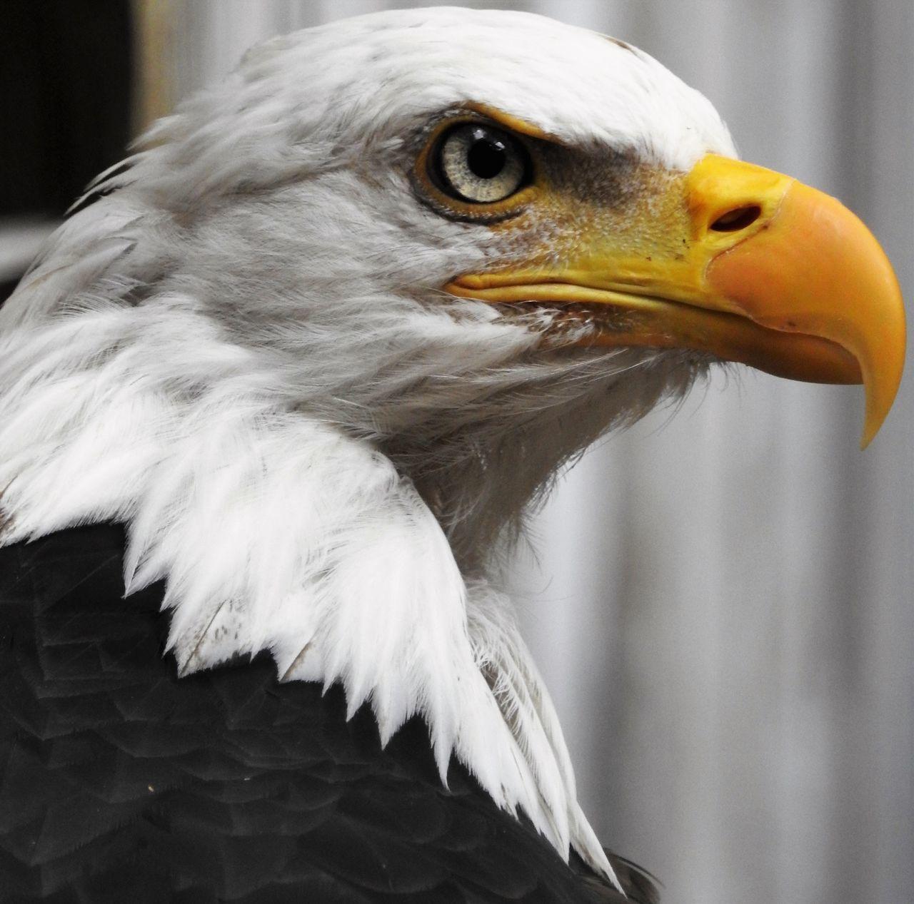 Beautiful stock photos of body piercing, American Eagle, Animal Themes, Animal Wildlife, Animals In The Wild