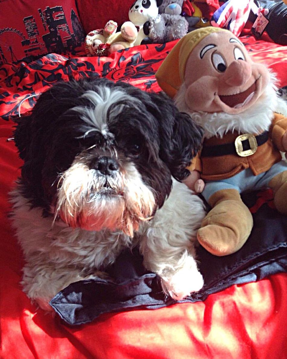 What Who Where Dog Pets Domestic Animals Mammal Animal Themes No People Indoors  Close-up Day Shihtzu Exploring Style Always Be Cozy