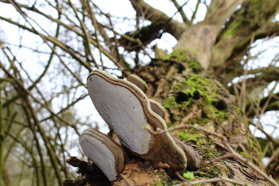 Tree Nature Branch Outdoors Growth Low Angle View Close-up Treelovers Treetastic Trees_collection Colours Of Nature Beauty In Nature Tree Trunk Low Angle View Photos Tree Mushroom Photography Mushrooms On A Tree Fungi Growth Funghi!!!!! :目 Hee Hee Fungus 🍄 Fungusphoto