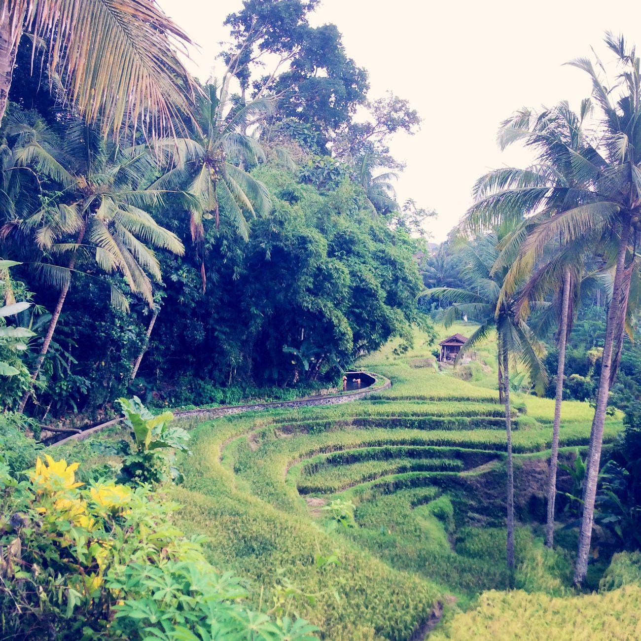 The Green Zone Ricefield Gianyar Bali