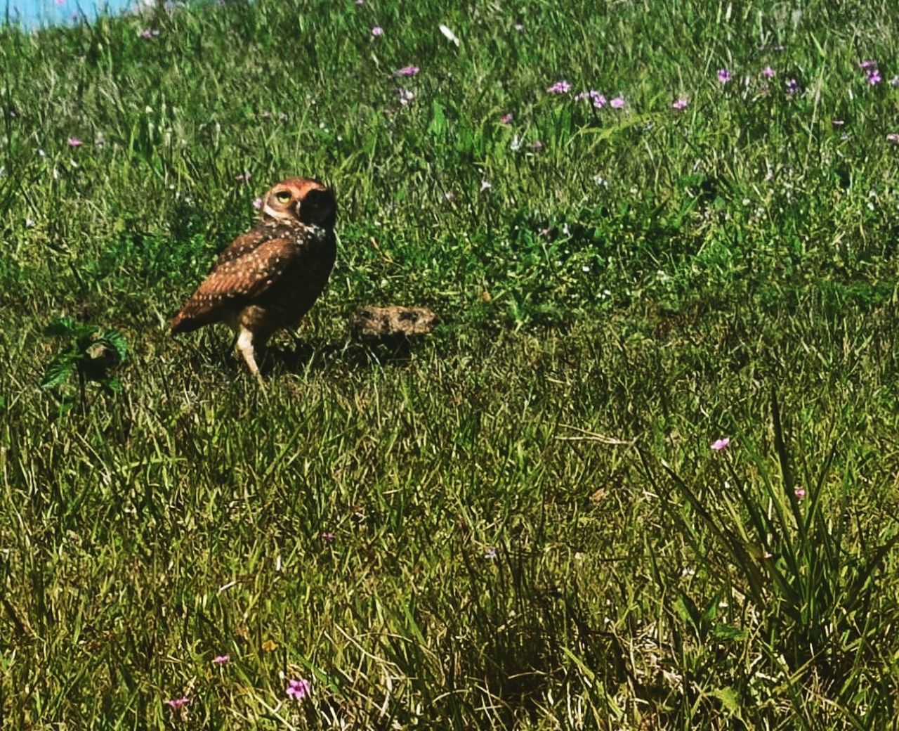 grass, bird, animal themes, one animal, animals in the wild, wildlife, field, nature, day, growth, green color, young bird, animal wildlife, outdoors, no people, young animal, bird of prey, perching, mammal