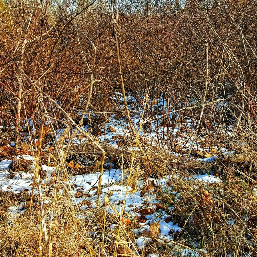 Photographic Memory blackberry vines waiting for spring. Hide And Seek With The Sun Melting Snow Remnants Of Winter Dangerous Beauty Thorns Coutryside Winter Landscape Samsung Galaxy S6 Edge Cellphone Photography Snow ❄ Country Living Landscape_photography