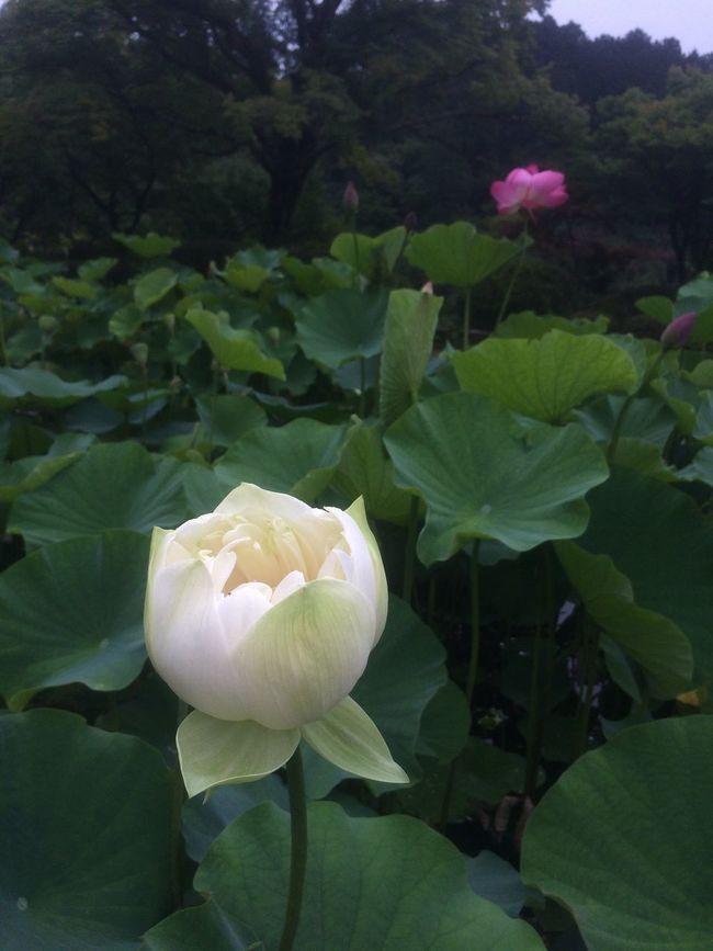 Lotus Flower Mimurotoji Kyoto