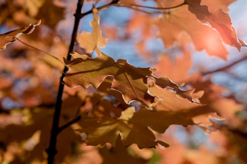 Oak tree highlighted by Autumn Sun Autumn Autumn🍁🍁🍁 Beauty In Nature Branch Change Close-up Day Focus On Foreground Growth Leaf Maple Maple Leaf Nature No People Oak Outdoors Surreal Tree