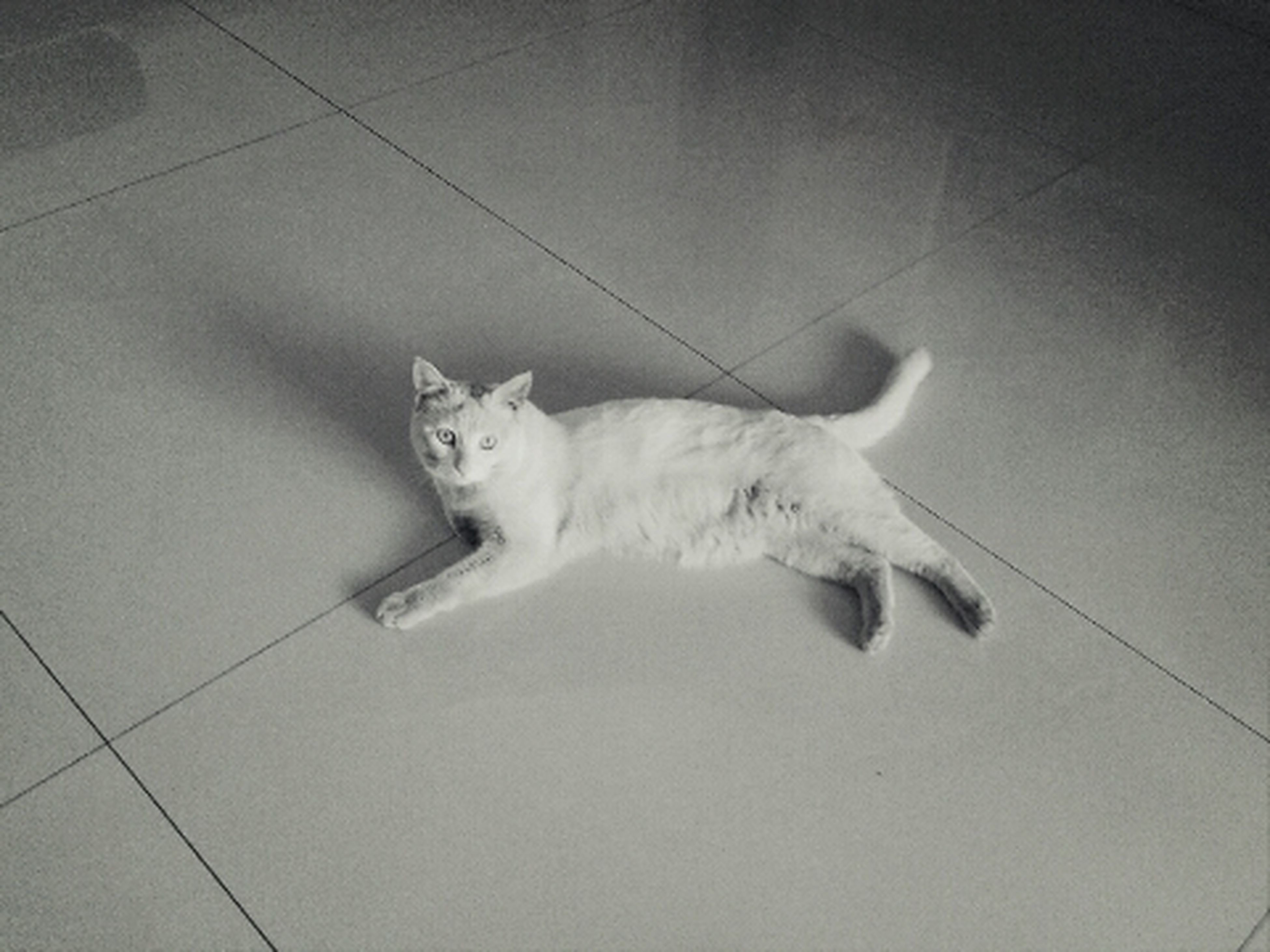pets, domestic animals, animal themes, one animal, domestic cat, mammal, cat, indoors, feline, relaxation, full length, high angle view, white color, lying down, resting, portrait, no people, tiled floor, wall - building feature, zoology