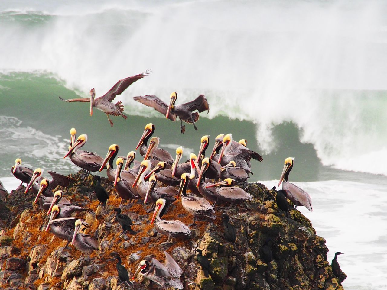 Beautiful stock photos of feuer, Animal Themes, Bird, Brown Pelican, Day