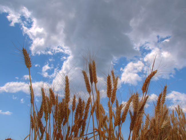Agriculture Beauty In Nature Cebada Cereal Cloud Cloud - Sky Cloudy Crop  Environmental Conservation Espiga Field Growing Growth Majestic Nature No People Outdoors Rural Scene Sky Tranquil Scene Tranquility Trigo