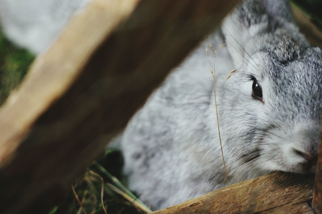 Beautiful stock photos of easter bunny, Animal Pen, Animal Themes, Close-Up, Cute
