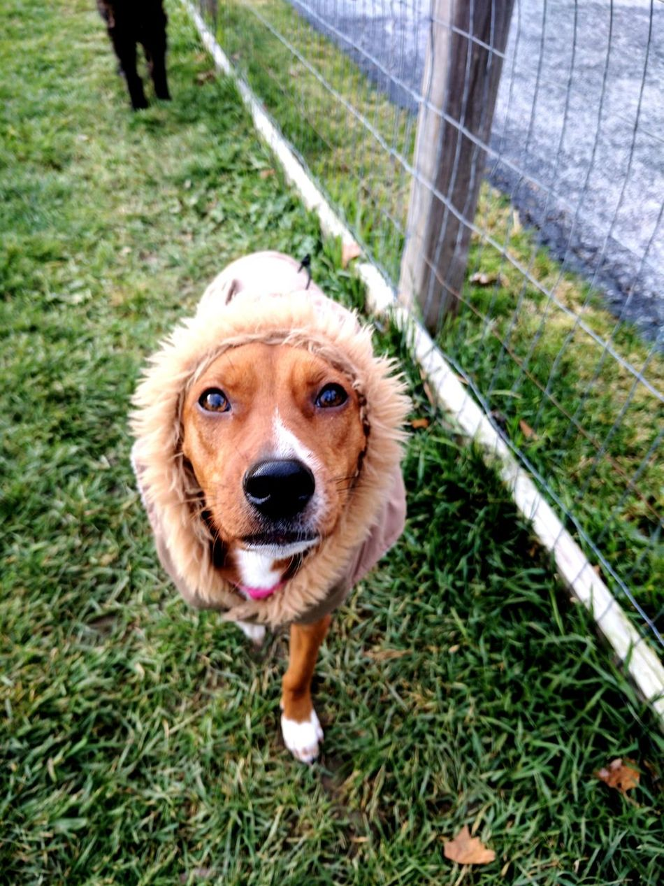Lil Kyrie showing off her fuzzy coat. Dog Looking At Camera Domestic Animals Pets Outdoors Grass Animal Themes Close-up Dog Coat No People Dog In Coat Day Nature One Animal