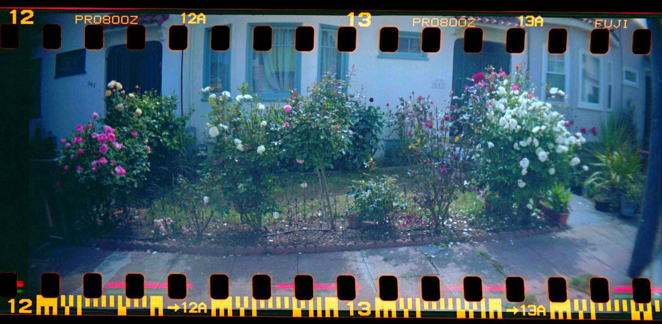 Koduckgirl Lomo800 Sprocket Holes Sprocket Rocket Panorama Film Roses