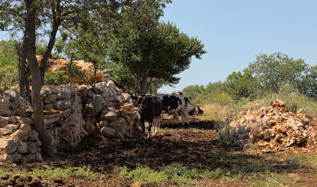 Cow Farm Animal Themes Beauty In Nature Beef Cattle Cows Domestic Animals Farm Life Farmland Field Grass Landscape Livestock Mammal Milk Nature Tree Turkey Uzuncaburç