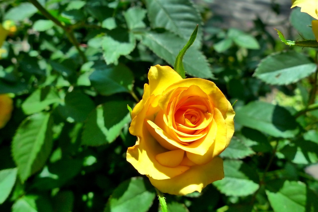 Flower Nature Rose - Flower Flower Head Growth Petal Plant Beauty In Nature Freshness Close-up Outdoors No People Day Yellow Rose Leaves Blooming Flower Sunnyday 🌸🌷🌿 EyeEmNewHere