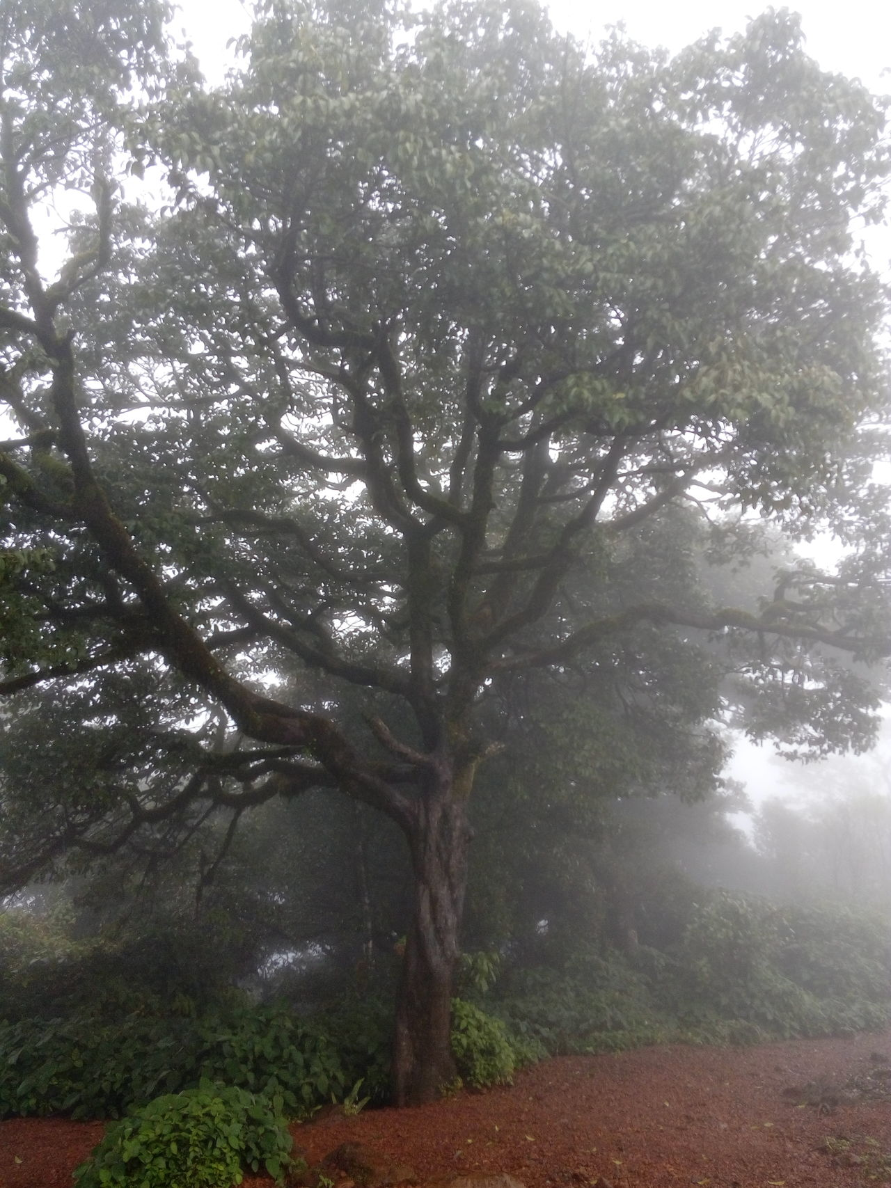 The Purist (no Edit, No Filter) Mobile Photography From My Point Of View Not So Clear Eyeem India Eyeem Photography EyeEm The Best Shots Barely Visible Fog Raining Slightly Kodachadri Hill's Cold Nature EyeEm Best Shots - Nature EyeEm Nature Lover Forest Taking Photos Tree Enchanting India