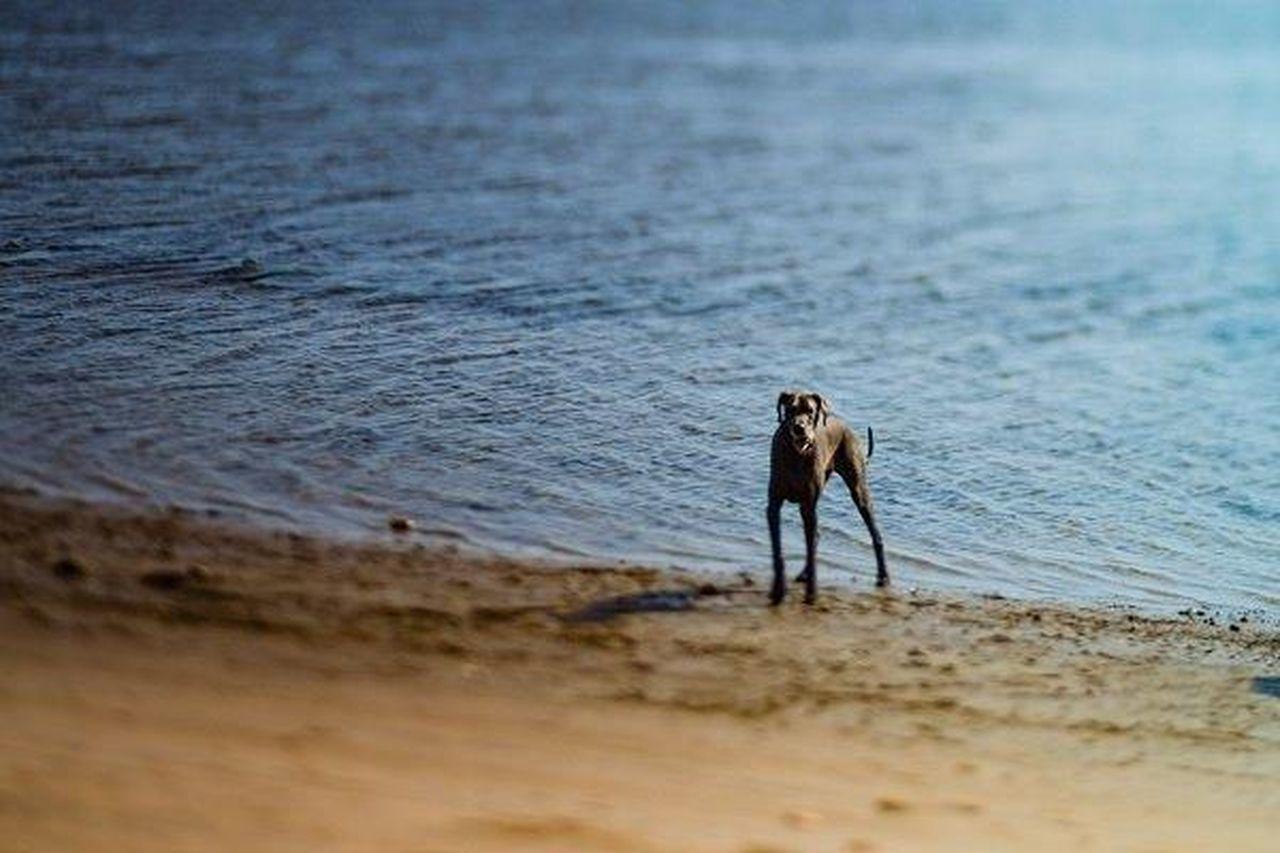 Dog Dogs Dog Love Dogstagram Dogslife Dogs Of EyeEm Dogsofinstagram Canine Pets Pet Beach Beach Photography Beachphotography Beach Life Dog On Beach Great Dane
