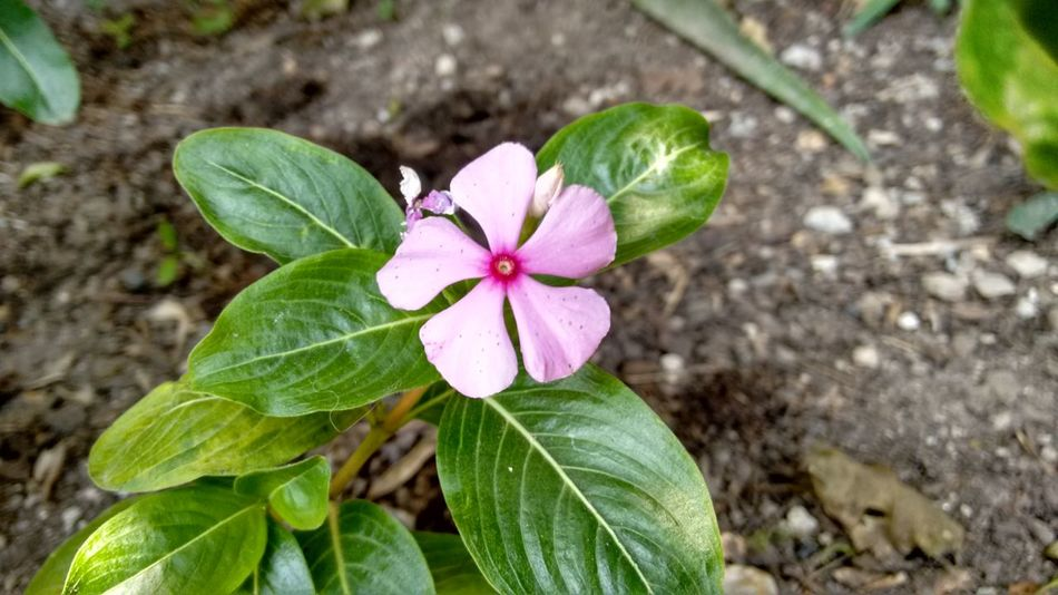 Flowers Flower Pink Pink Flower Green Mexico Flor Earth Nature CelayaGto