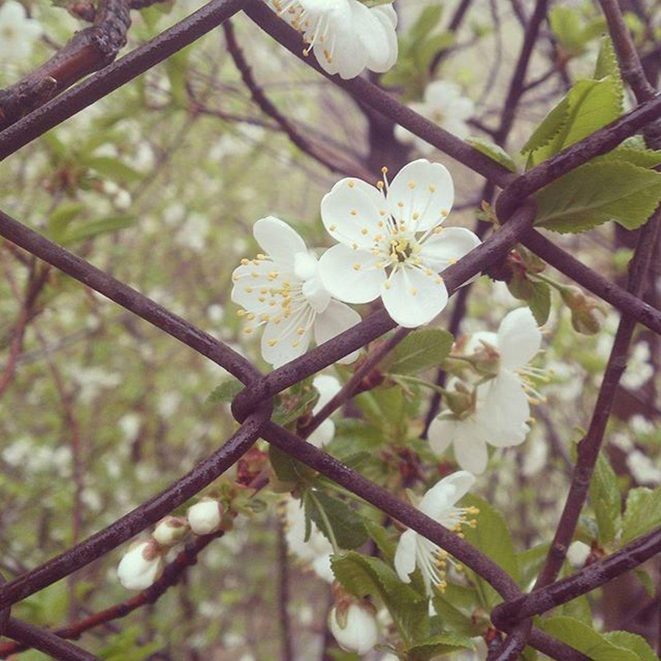 Iran Hamedan Spring Life Green Cherry Blossom Cherryblossom Tree Branches Vernal Fence Rain Rainy Digikalamag_mps ایران همدان بهار سبز شکوفه درخت شاخه آلبالو حصار باران بارانی