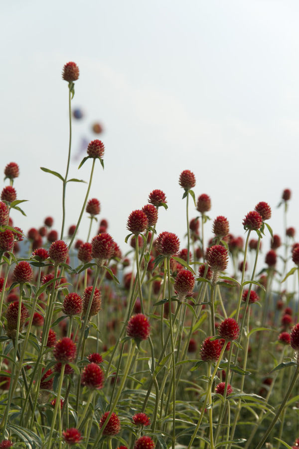 festival of globe amaranth flower with bellvedere at Nari Park in Yangju, Gyeonggido, South Korea Globe Amaranth Flower Beauty In Nature Close-up Day Field Flower Flower Head Fragility Freshness Globe Amaranth Growth Nature No People Outdoors Plant Poppy Red Sky Summer White Background