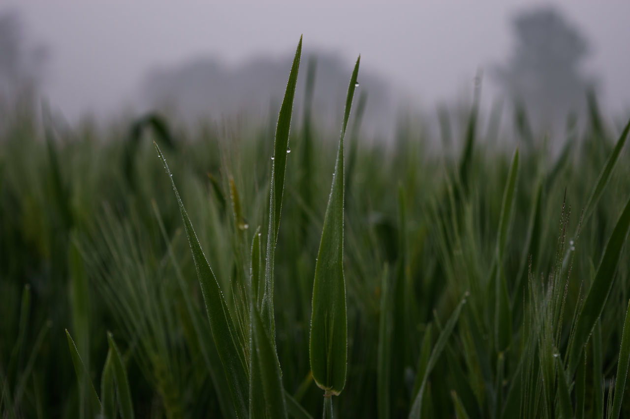wheat farm Agriculture Beauty In Nature Close-up Day Field Freshness Growth Nature Naturelovers No People Outdoors Plant Rural Scene Wheat Wheat Farm Wheat Farming Wheat Field Morning Light Morning Dew Dew Dew Drops Dew Drops On Leaf Leaf