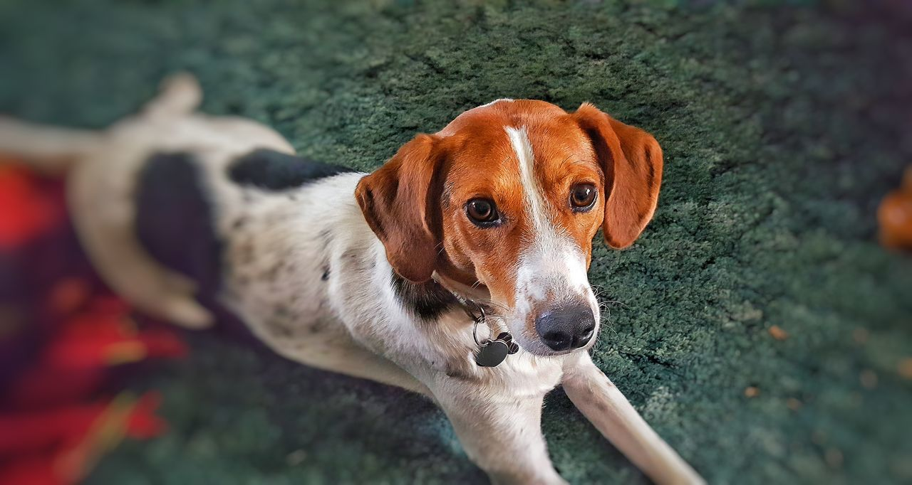 Pets Of Eyeem Petslife Relaxing Puppy Eyes Puppy Face Pet Photography  Pets Are Family Mammal K-9 Cute Dog  Puppy Power Dogslife Dogs Of EyeEm Week On Eyeem Beaglemix Rescue Dog