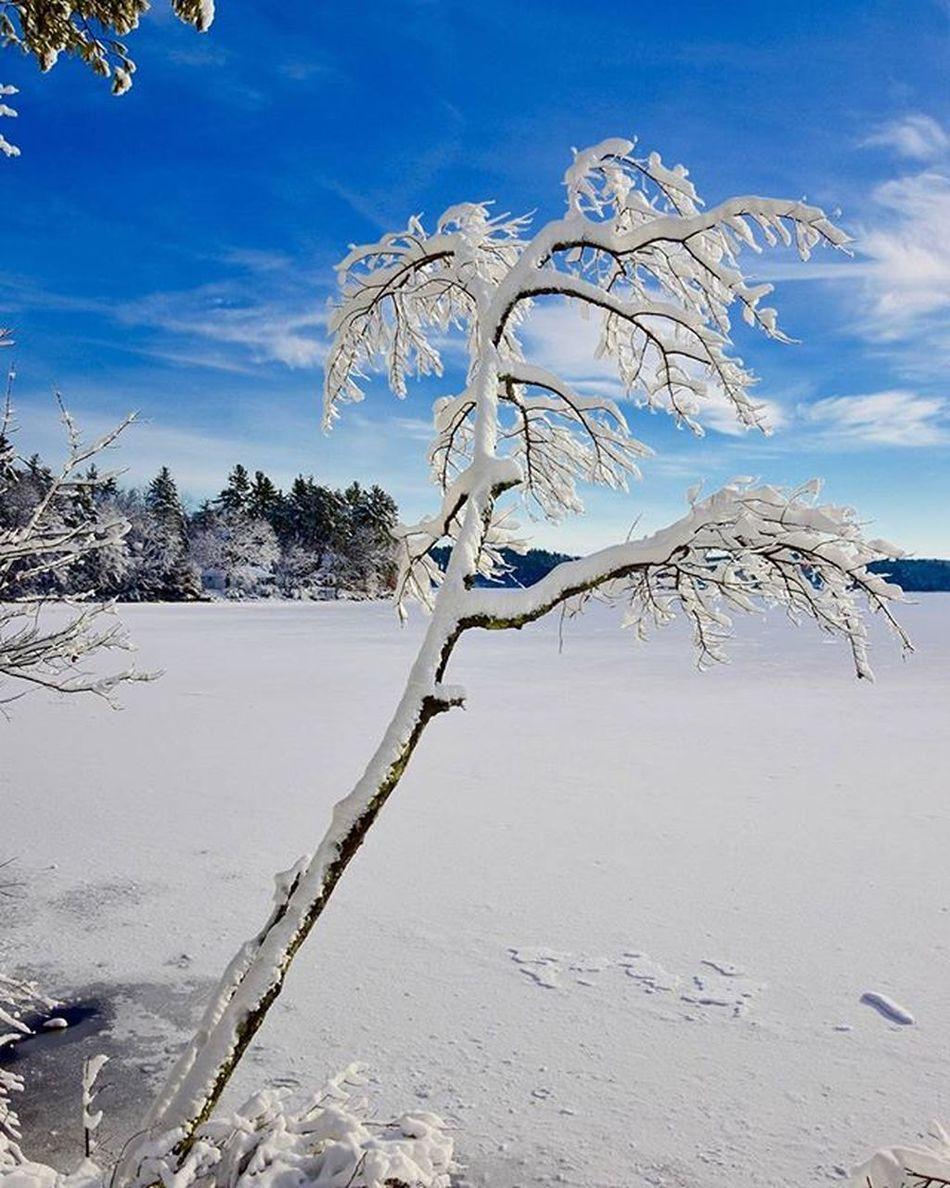 It's a New Hampshire palm tree ;) sort of. Lakemassabesic D7200 Nikonusa Nikoncoverphoto Iamgenerationimage Rockinghamrecreationaltrail