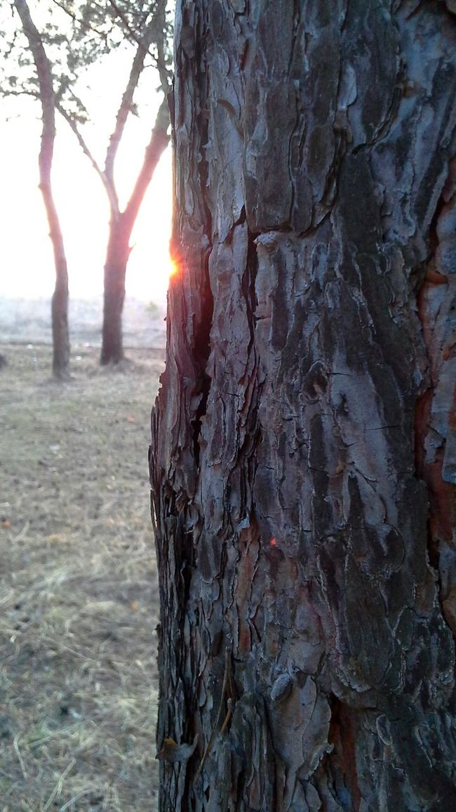 Sun Tree Sunset весна фокус кора дерева Spring