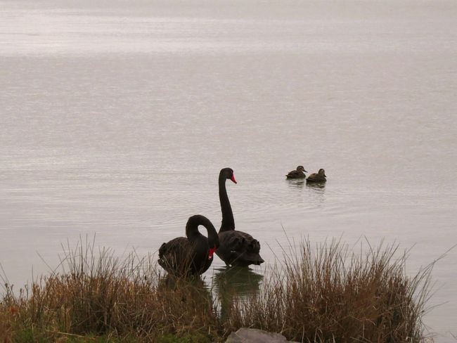 Black Swans Water Tranquil Scene Bird Nature Water Bird Beauty In Nature Two Pairs Tranquility Lakeshore Reflection Non-urban Scene Fresh On The EyeEm Brd Nature
