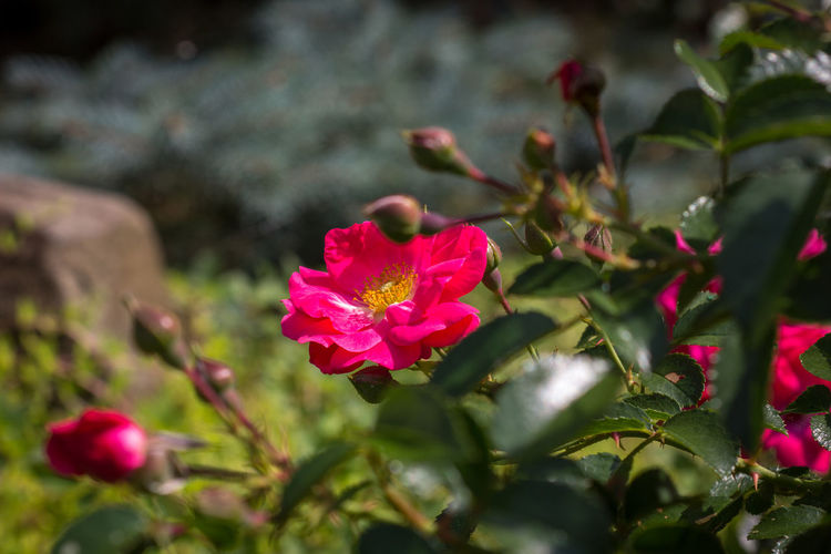Rose garden Pink Rose Beauty In Nature Blooming Close-up Day Flower Flower Head Fragility Freshness Growth Leaf Nature No People Outdoors Petal Pink Color Plant Rose Garden Tea Roses Yellow Centered Flowers