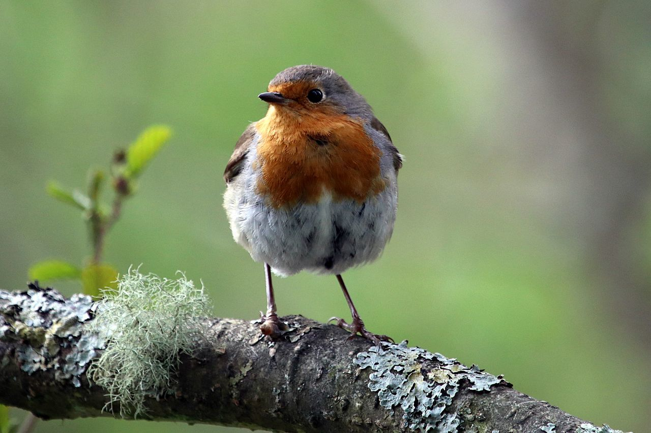 one animal, bird, animals in the wild, animal themes, perching, focus on foreground, robin, day, animal wildlife, nature, close-up, no people, outdoors