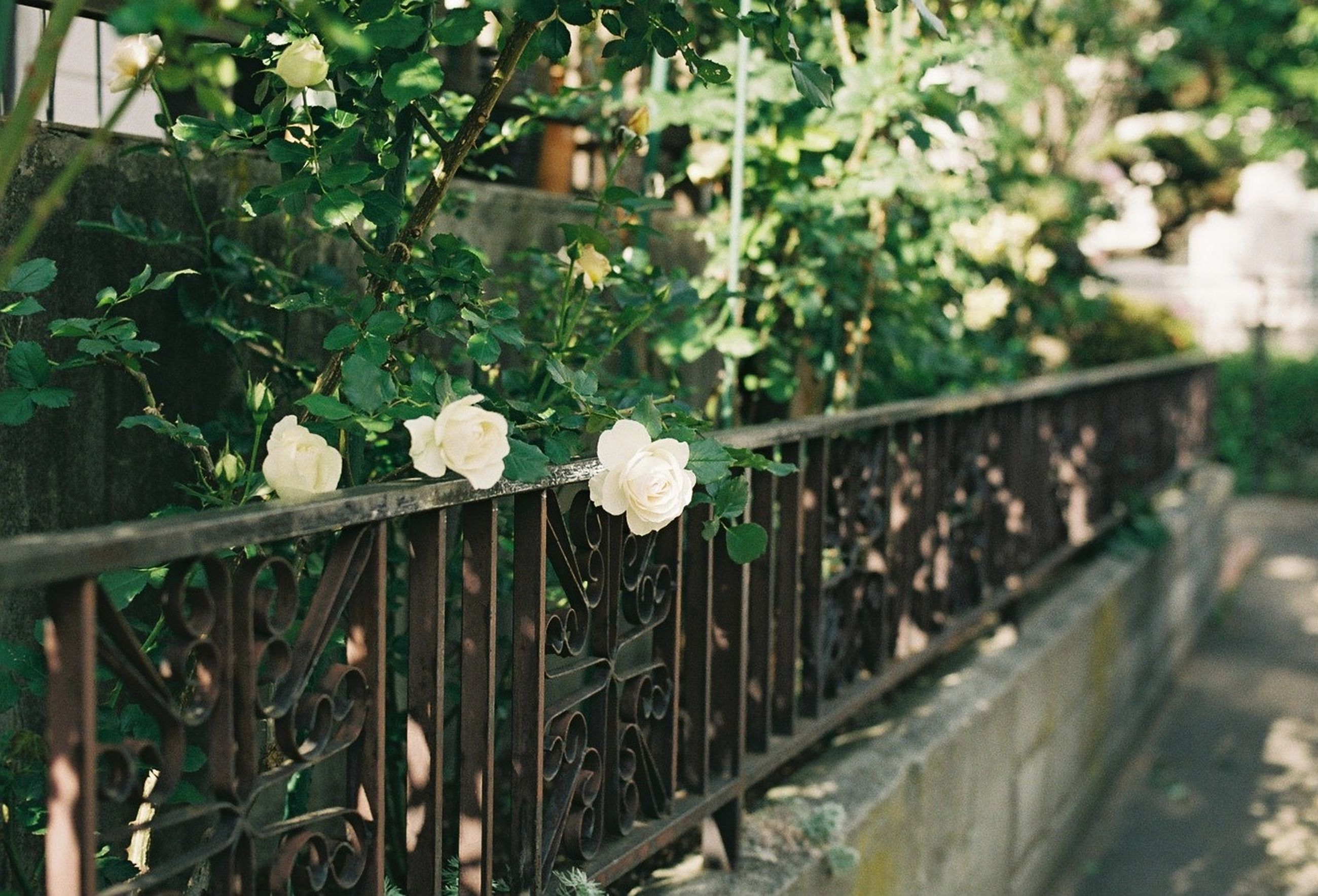 flower, growth, plant, freshness, fragility, fence, nature, white color, leaf, built structure, railing, day, petal, architecture, beauty in nature, close-up, no people, outdoors, blooming, front or back yard