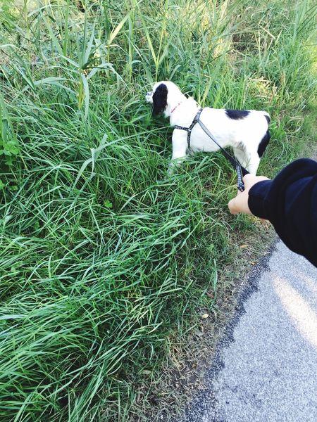 Dog English Setter Black And White