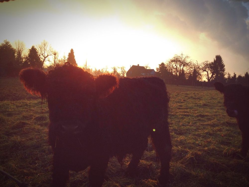 Goodmorning Cows On Way To Work IPhoneography Nature On Your Doorstep Glitch
