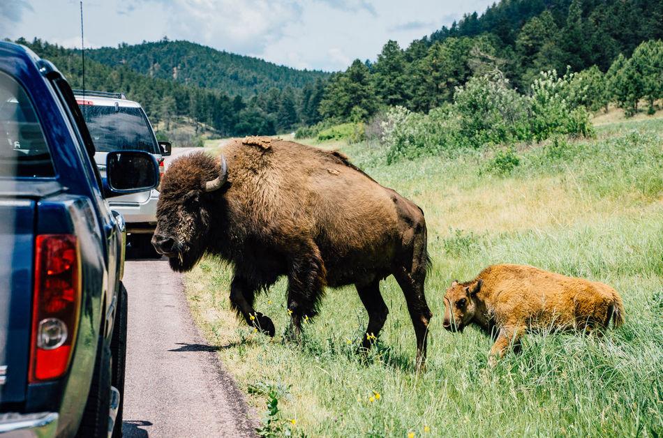 Beautiful stock photos of buffalo,  American Bison,  Animal Themes,  Buffalo,  Car