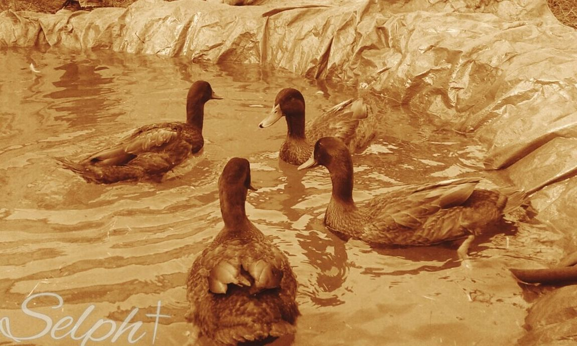 Animal Animal Wildlife Animals In The Wild Bird Ducks Swimming Ducks ❤ Duck Photography Duck Meeting Nature Mammal Animal Themes Desert Outdoors Beauty In Nature Adult Ostrich Day People