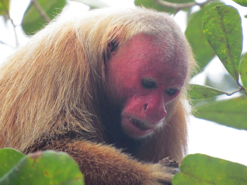 Amazon Amazon - Brazil Amazon Monkey Amazon Rainforest Amazon River Amazonas Animal Photography Animals In The Wild Beauty In Nature Close-up Nature At Its Best Nature Up Close One Animal Primate Red Face Red Face Monkey