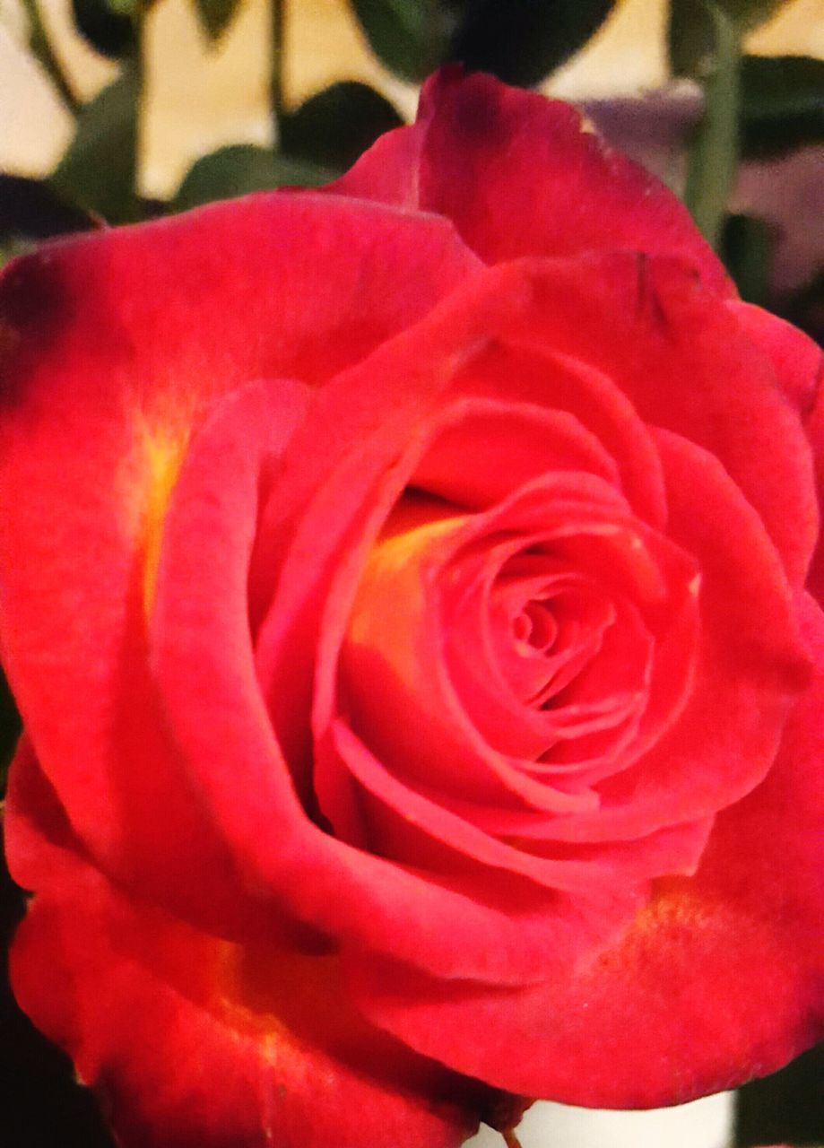 flower, petal, nature, fragility, flower head, beauty in nature, rose - flower, freshness, growth, softness, plant, blossom, red, botany, close-up, blooming, no people, soft focus, love, outdoors, springtime, rose petals, beauty, day