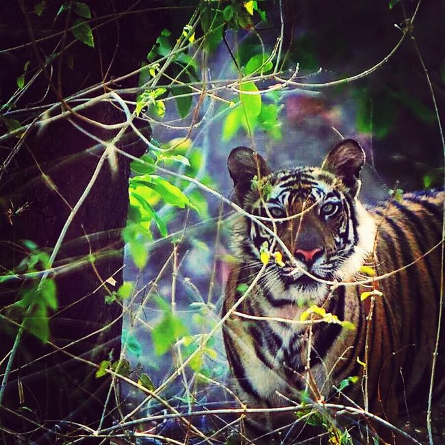 Tiger Bandavgragh Wildlife & Nature Bigcat