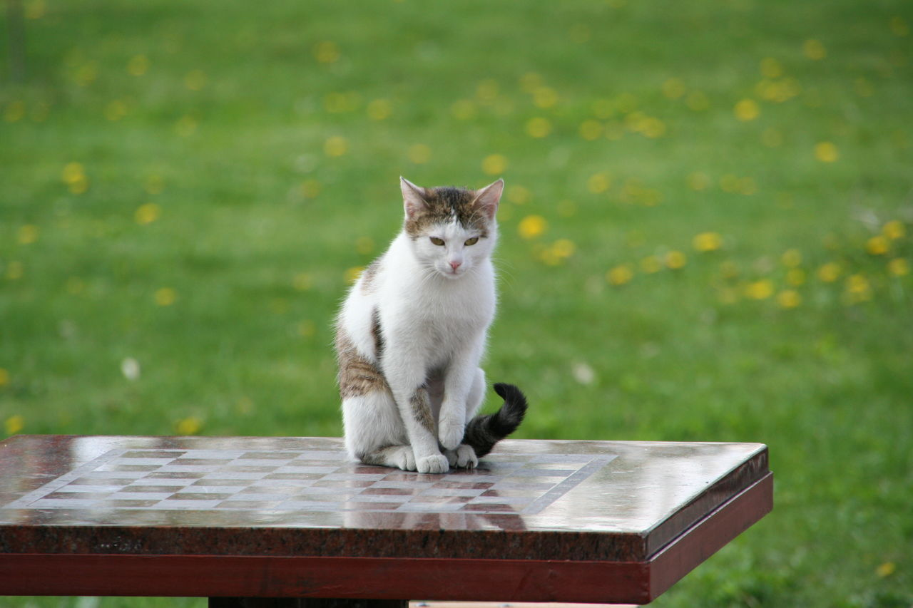 domestic cat, one animal, animal themes, sitting, feline, mammal, outdoors, pets, domestic animals, no people, day, nature, portrait
