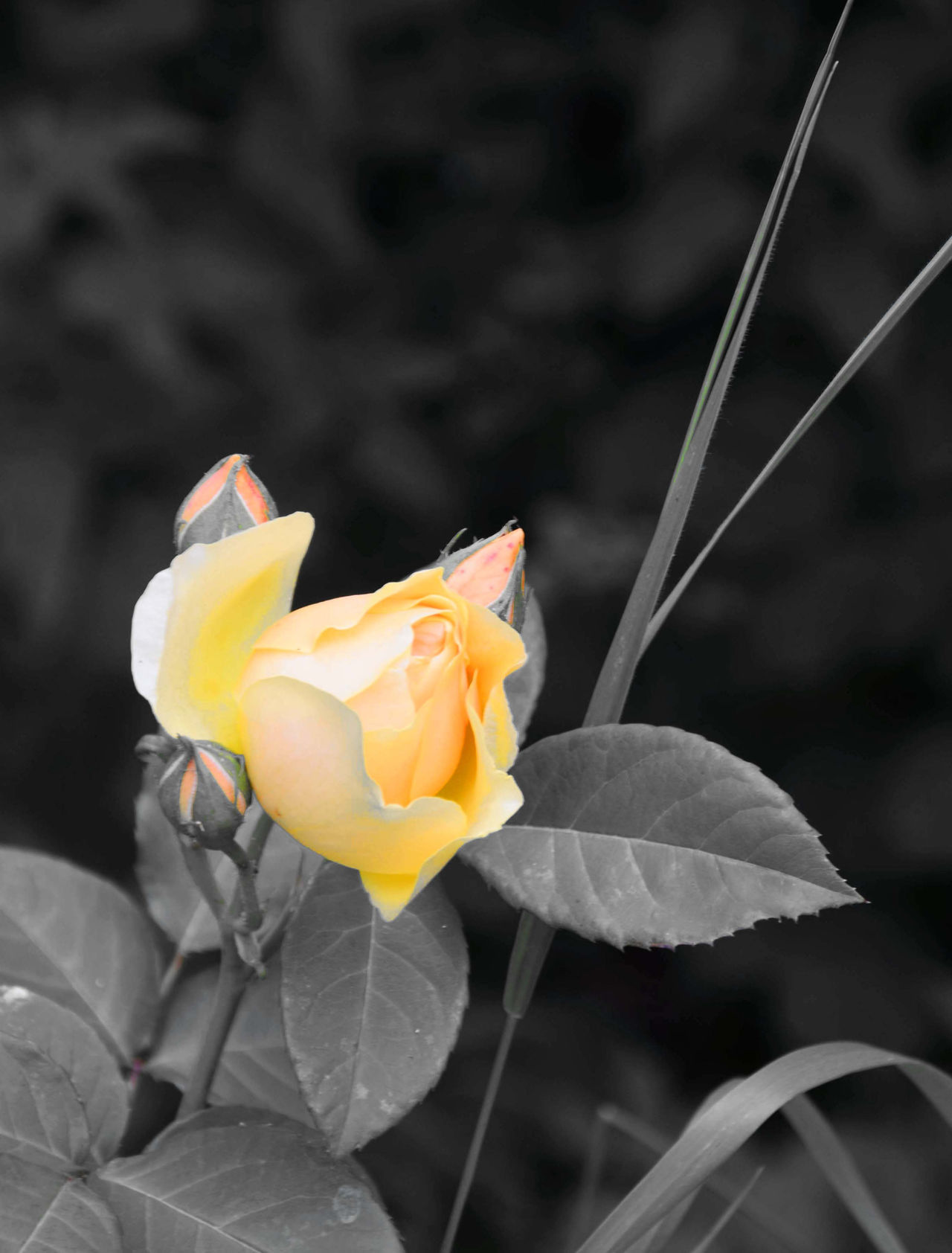 Flower colors - yellow rose Beauty In Nature Black And White Roses Rose🌹 Roses🌹 Playing With Colors Playing With Colours Blooming Blossom Botany Flower Flower Head Fragility Freshness Nature Plant Rose - Flower Softness Yellow Yellow Rose Fine Art Photography