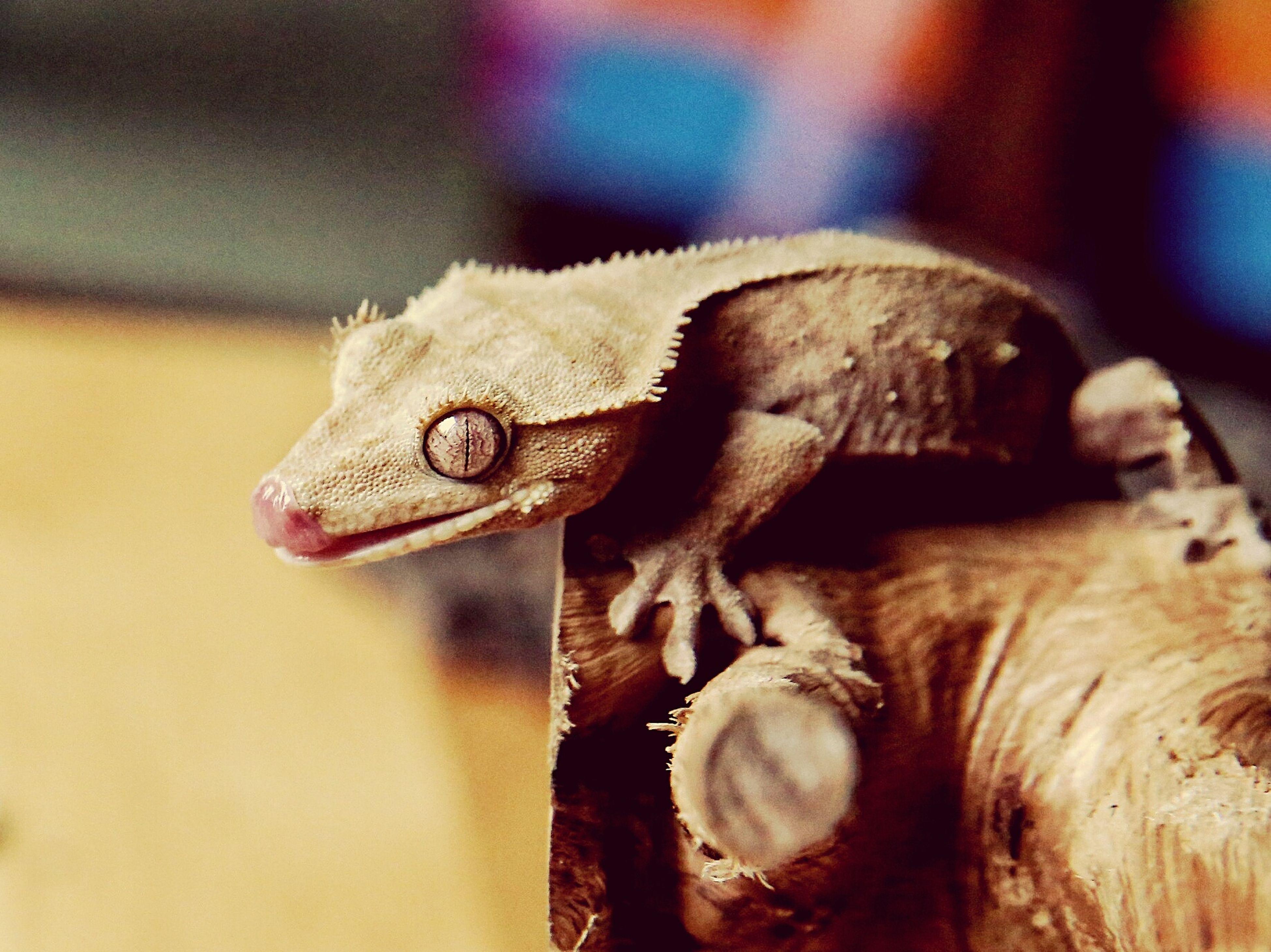 Gecko Gecko Eye Geckolove One Animal Crested Gecko Rhacodactylus Ciliatus