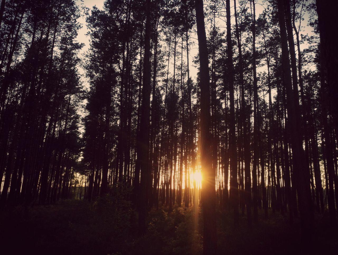 223. Tree Forest Sunlight Nature Back Lit Sunset Silhouette Scenics Sun No People Landscape EyeEm Best Shots TreePorn Mobilephotography Telephone Photography Sky And Trees EyeEm Masterclass Eyeem Photography EyeEmbestshots EyeEmNewHere EyeEmBestPics EyeEm Best Edits Himmel Outdoors Sky