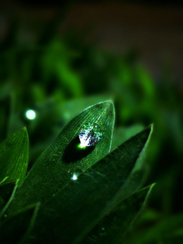 Shine bright dew like a diamond Shine Bright Like A Diamond  Dew Dew Drops Dewdrops_Beauty Dew Drops On Leaf Dews Leafs Leafs 🍃 Relaxing Taking Photos Green Nature Leafs Photography Indonesia_photography Selective Focus Nature Is Art Nature In The Night Nature_perfection Plants 🌱 Nature Beauty Nature Photography Beauty In Nature Leaf Fantasy Showcase June Light In The Darkness Macro_collection