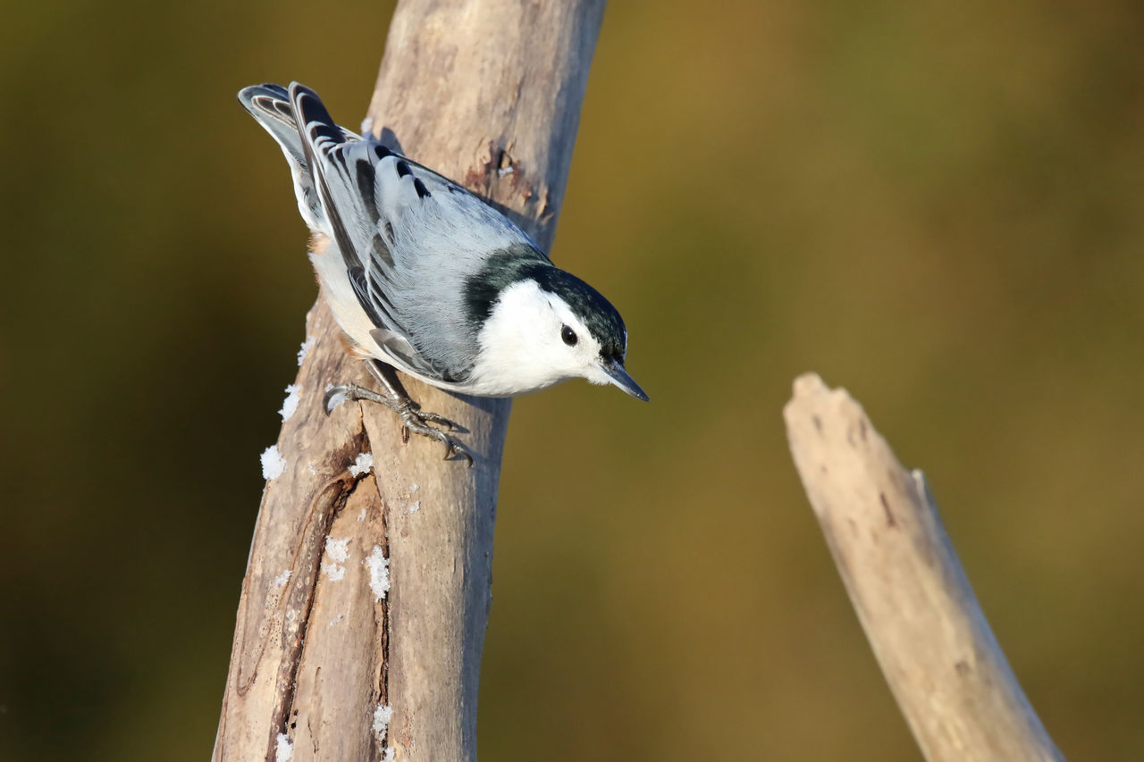 Beautiful stock photos of woodpecker,  Animal Themes,  Animal Wildlife,  Animals In The Wild,  Close-Up