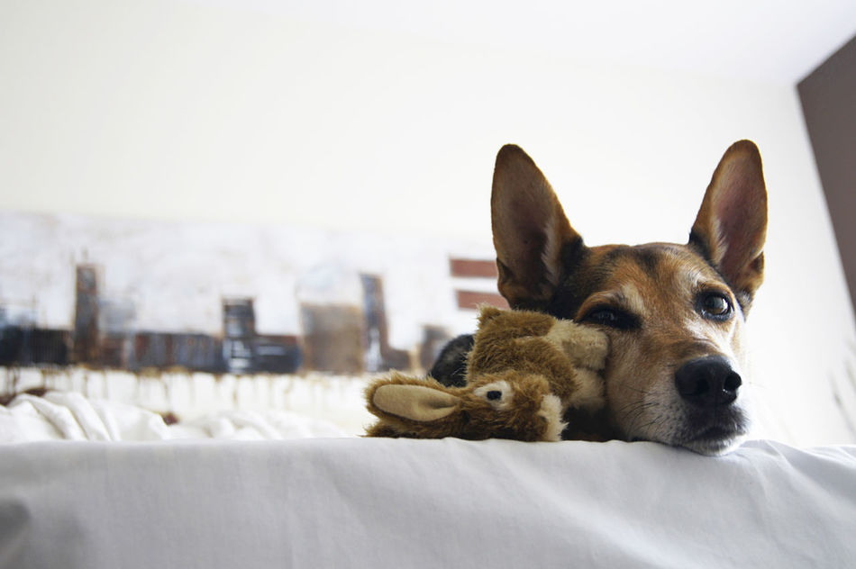 Animal Themes Dog Domestic Animals Indoors  No People One Animal Pets Relaxation