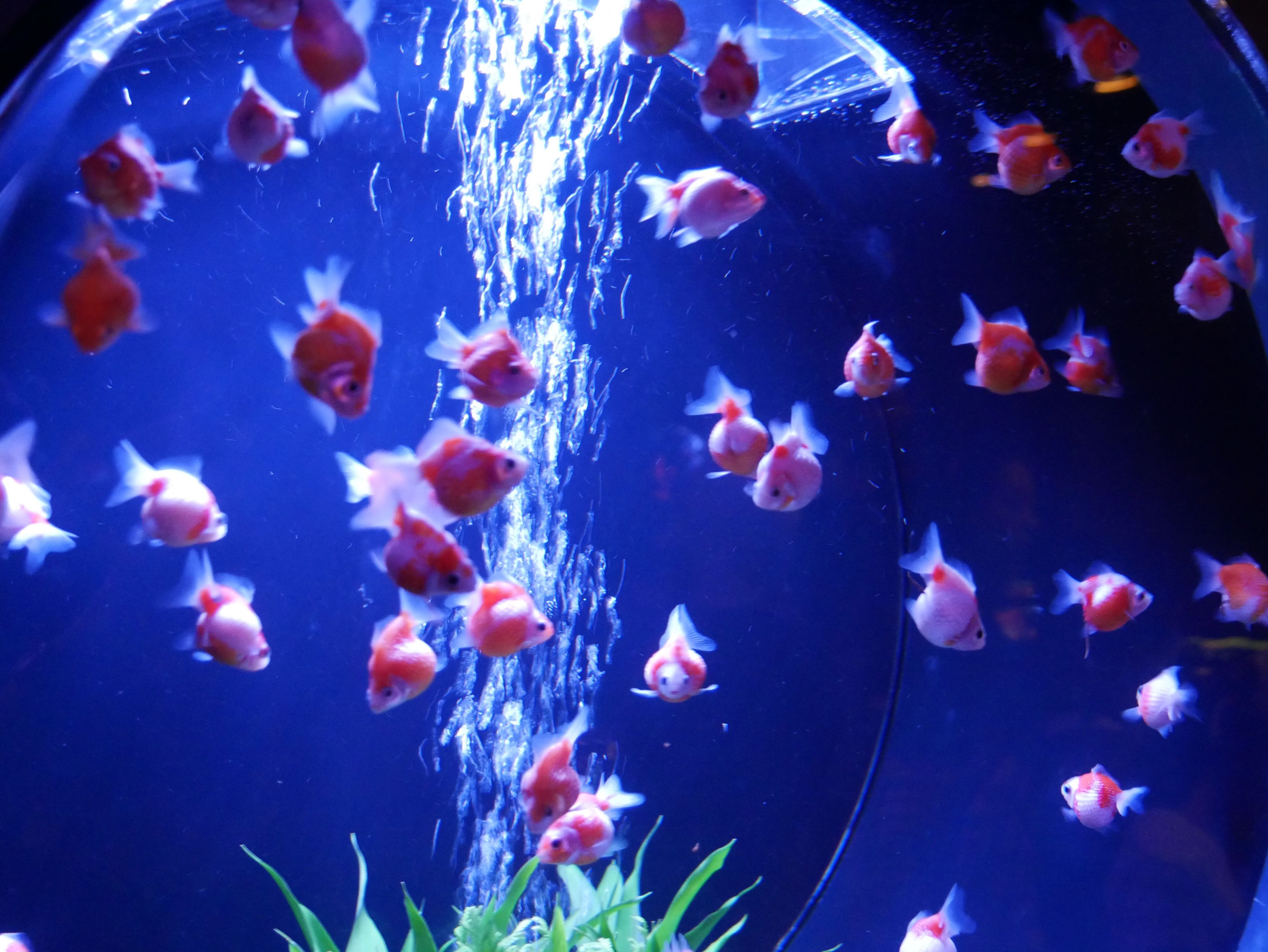swimming, fish, water, sea life, large group of animals, animal themes, blue, multi colored, group of animals, underwater, close-up, animals in the wild, no people, animal wildlife, nature, aquarium, undersea, day