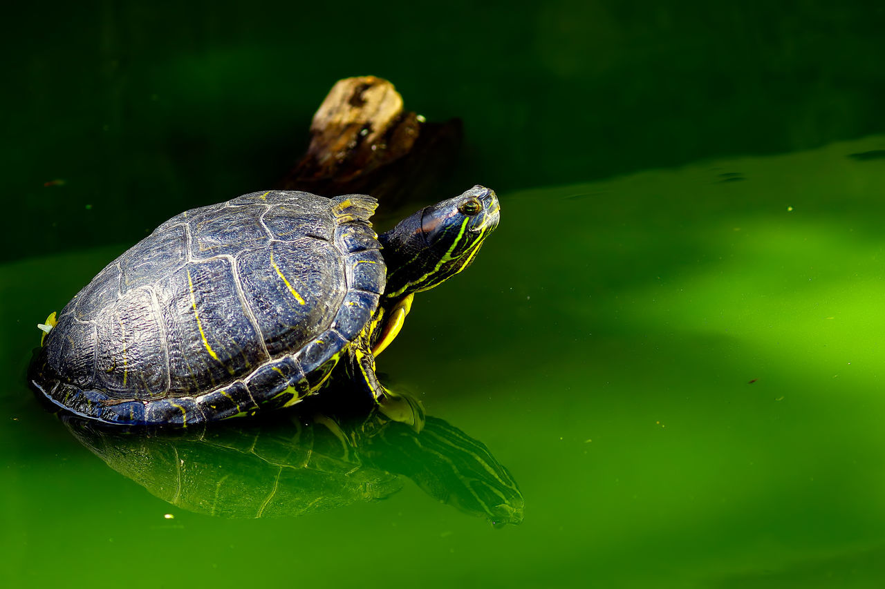 Animal Animal Themes Animal Wildlife Animals In The Wild Close-up Day Eating Full Length Mammal Nature No People Outdoors Reptile Shield Tortoise Tortoise Shell Water