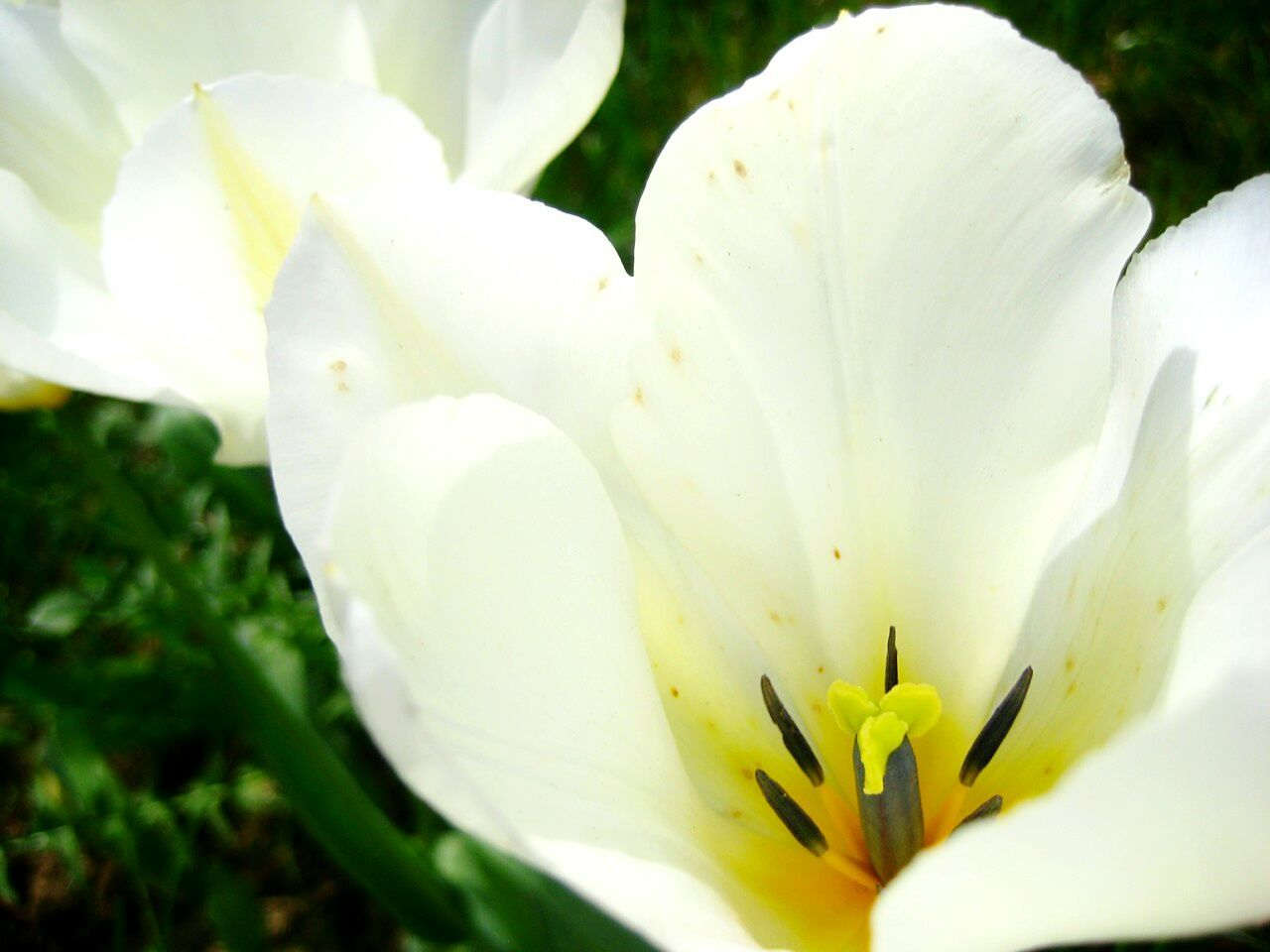 Growth Flower Nature Beauty In Nature Petal White Color Freshness Flower Head Fragility Plant Outdoors Blooming Close-up No People Day Day Lily Tullips
