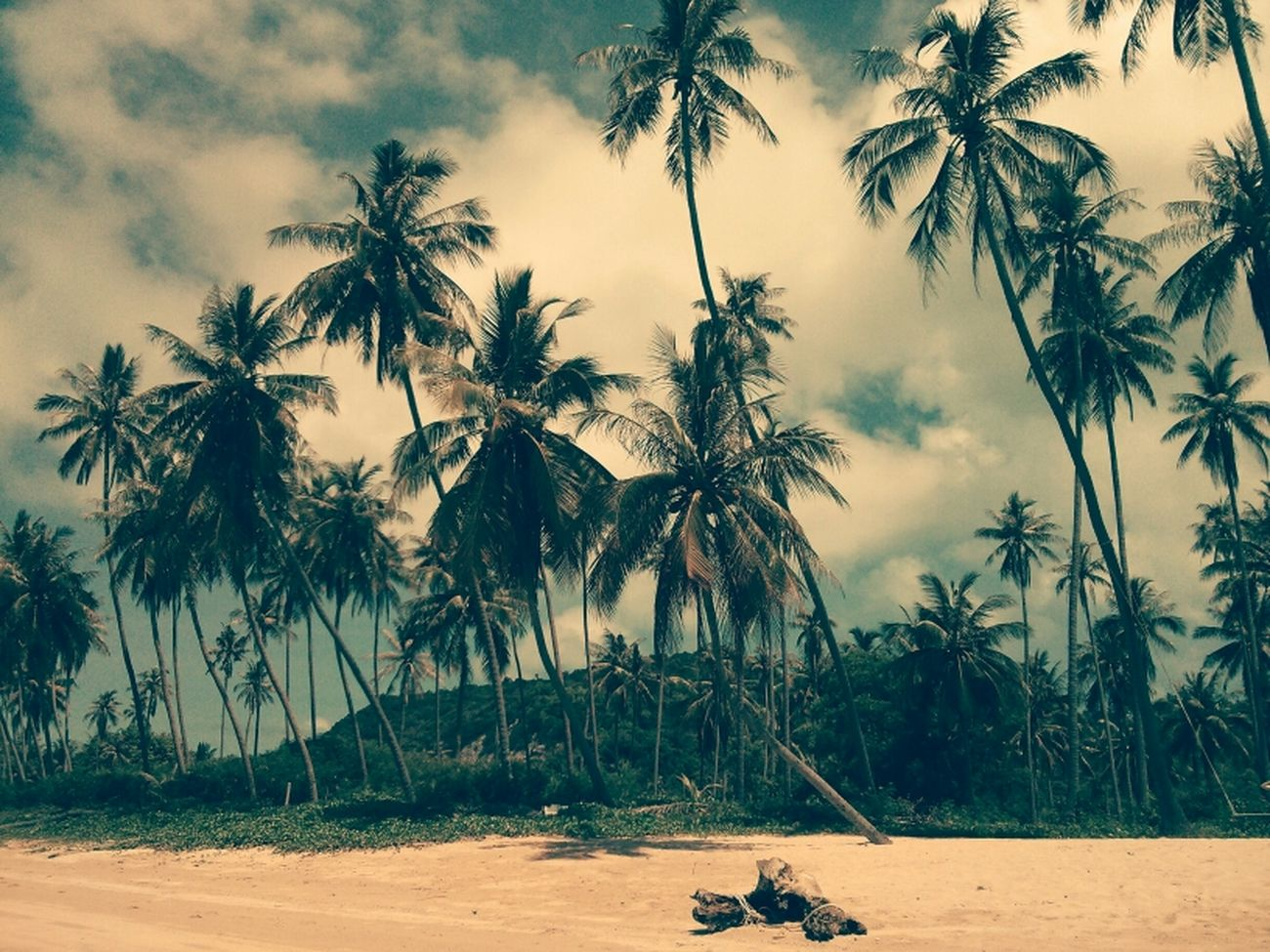 Coconut Trees Kus In Thailand