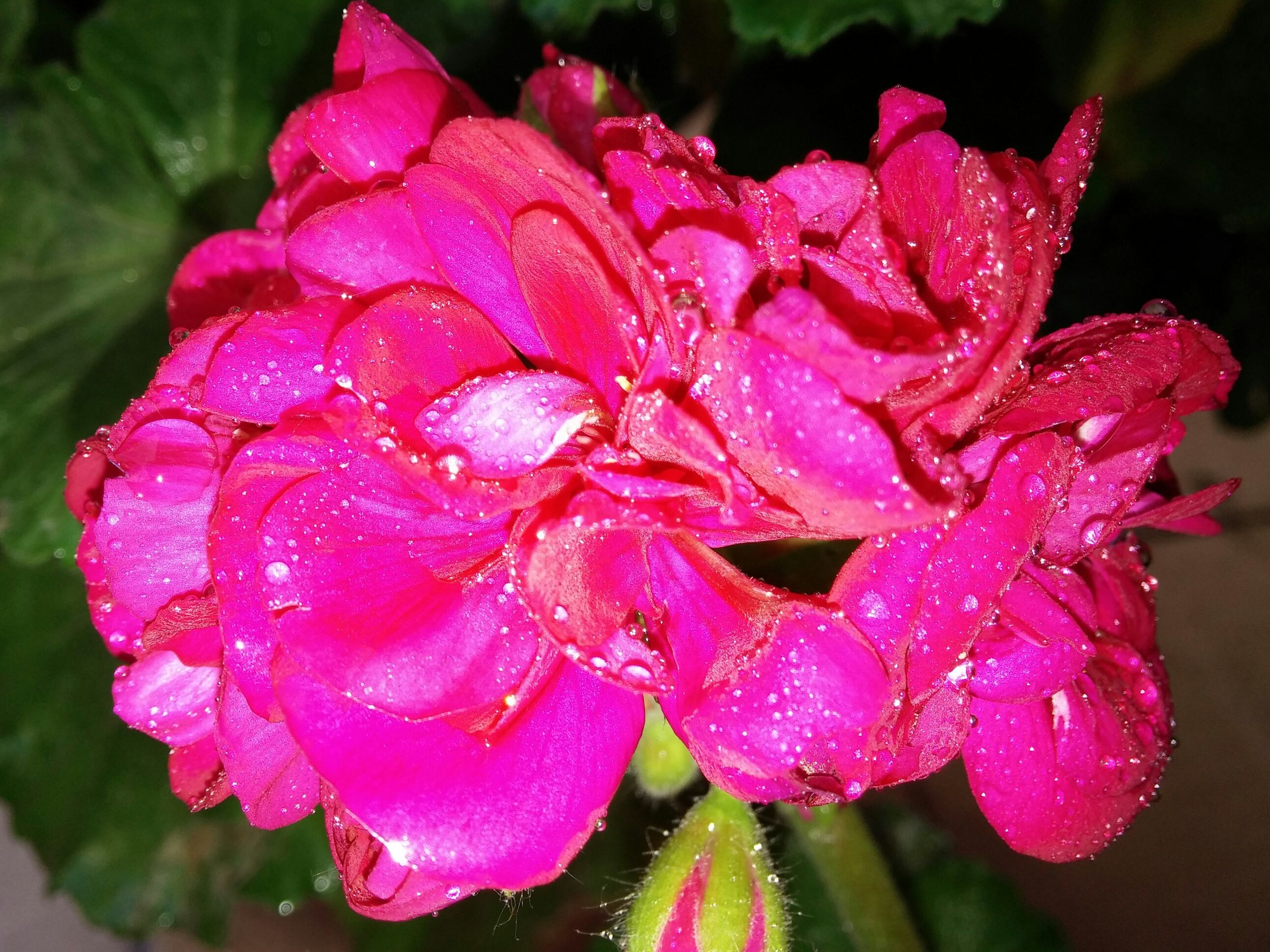 drop, flower, petal, freshness, wet, water, fragility, flower head, close-up, beauty in nature, pink color, dew, growth, raindrop, focus on foreground, blooming, nature, rain, plant, rose - flower