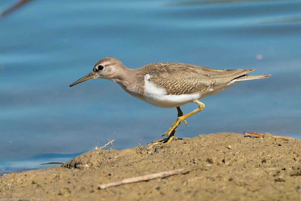 Birds_collection Birdwatching Actitis Hypoleucos Common Sandpiper Deceptively Simple